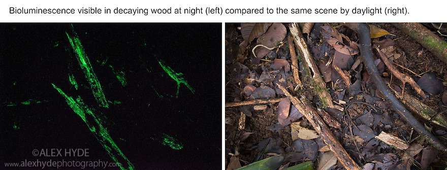'Foxfire' or 'fairy fire', is the bioluminescence resulting from fungi present in decaying wood. The fungi contain the enzyme luciferase that emits light when it reacts with luciferin. The bioluminescence may attract insects to spread spores. Central Caribbean foothills, Costa Rica. May.