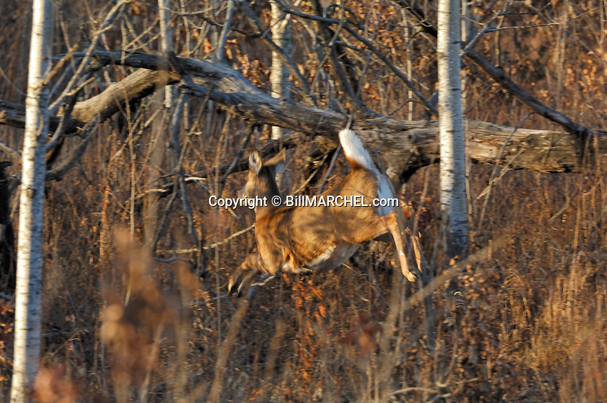 00275-200.01 White-tailed Deer (DIGITAL) doe shows motion blur as she bounds with tail raised through forest during fall.  Hunting.  H3L1