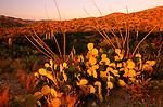Prickly pear cacti, Saguaro National Monument, Arizona
