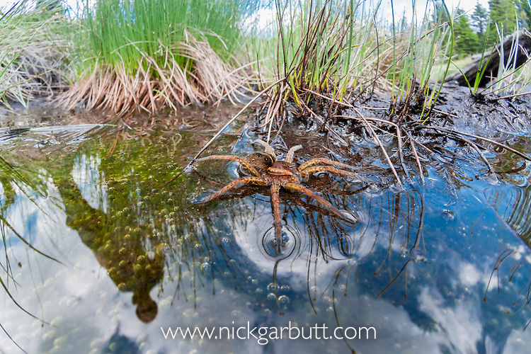 Raft Spider (Dolomedes fimbriatus) resting on water's surface at the edge of a pool, where it hunts its prey. Nordtirol, Tirol, Austian Alps, Austria. July.