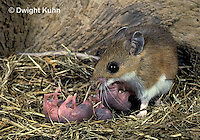 MU27-199z   White-Footed Mouse - caring for 3 day old young -  Peromyscus leucopus