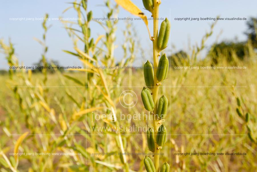 BURKINA FASO, sesame plant at farm / Feld mit Sesampflanzen