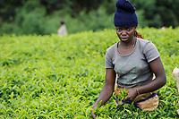 KENYA Limuru, Tigoni,  tea harvest, women pluck green tea leaves in tea garden / KENIA, Tee Ernte, Frauen pfluecken die Teeblaetter