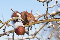 Eichhörnchen, Europäisches Eichhörnchen, im Winter bei Schnee, frisst auf einem Apfelbaum hängengebliebene Äpfel, Sciurus vulgaris, European red squirrel, Eurasian red squirrel