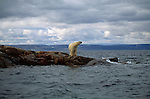 A polar bear looks out across Wager Bay from a rocky point in Nunavut, Canada.