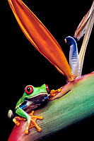red-eyed treefrog, Agalychnis callidryas, on bird of paradise flower, Costa Rica (c)