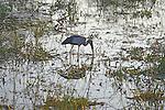 Yala National Park Sri Lanka<br /> Asian Open Billed Stork