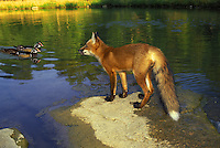 Red fox, vulpes fulva, standing on rock of lake watching three wood ducks swim by with great interest