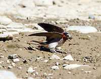 Cliff swallow gathering mud on bank of Rogue river for nest under nearby bridge.