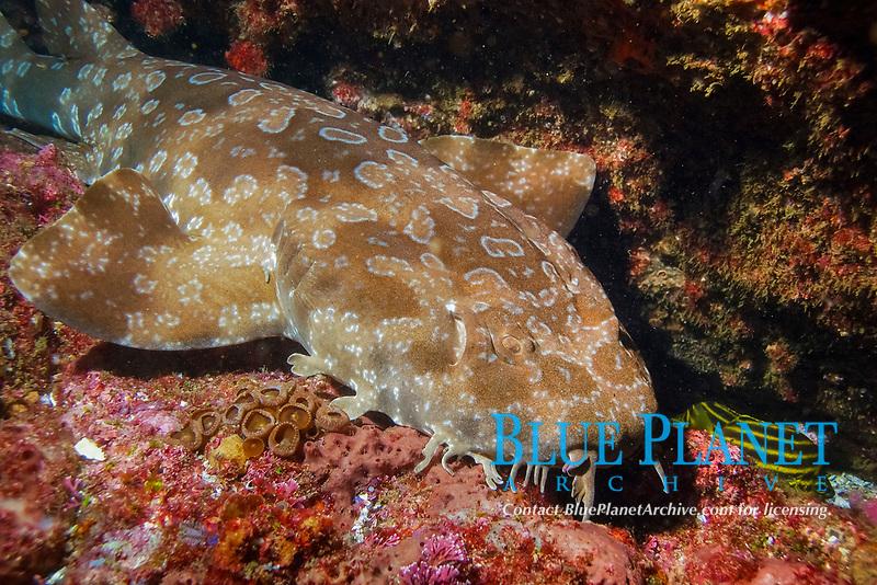 Spotted Wobbegong, Orectolobus maculatus. Julian Rocks, Byron Bay, New South Wales, Australia, South Pacific Ocean