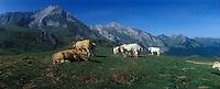 Europe/France/Aquitaine/64/Pyrénées-Atlantiques/Col d'Aubisque : Vaches en pâturage