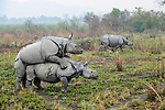 Male and female Great One-horned Rhinoceros (Rhinoceros unicornis) mating with rival male looking on. Kaziranga National Park, Assam, India.