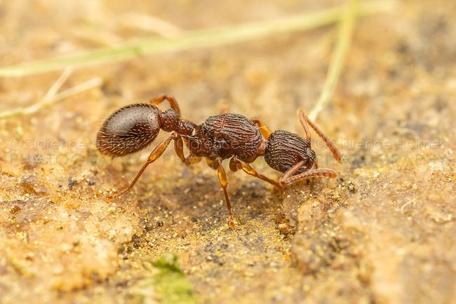 A Myrmicine Ant (Myrmica pinetorum) scavenges on the surface of a rock.
