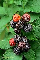 HS34-023c  Black Raspberries - Jewel variety