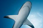 Caribbean Reef shark, Cuba Underwater, Jardines de la Reina, Carcharhinus perezii