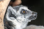 ring-tailed lemur close-up of face