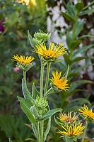 Silphium yellow flowering perennial in Yanker-Hansen garden