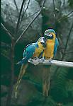 Blue-and-Yellow Macaw Parrots, Ara ararauna, at Santa Barbara Zoo