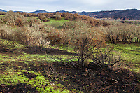 Fire damage and recovery from Nuns fire October 2017, Sonoma Valley Regional Park, California