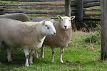 Sheep_BT_FB