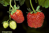 ST04-006d  Strawberry developing fruit - Sparkle variety