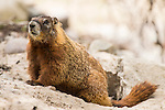 A marmot stands attentive on a rock in Grand Teton National Park, Wyoming.