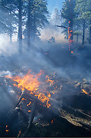 """The """"Smith Fire,"""" a low intesity fire in the ponderosa pine forest, Coconino National Forest, Arizona, AGPix_0216."""