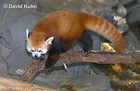 0313-1104  Red Panda, Ailurus fulgens  © David Kuhn/Dwight Kuhn Photography