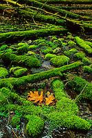 Sphagnum moss and Oak leaves, Delaware Water Gap, New Jersey