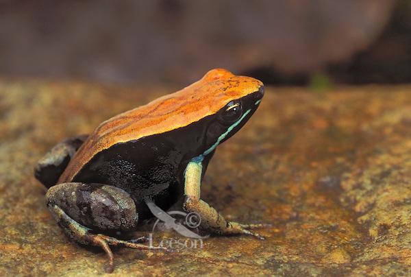 BROWN MANTELLA..Native to central & northern Madagascar. .Captive. (Mantella betsileo).