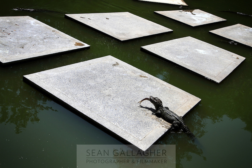 The Chinese Alligator (Alligator sinensis),  Anhui Research Center for Alligator Reproduction. Only 120 individuals remain in the wild in China as a result of wetlands reclamation. Xuancheng City, Anhui Province. China. 2010