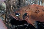 Acadian Redfish medium shot facing left
