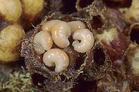 Ackerhummel, Acker-Hummel, Hummel, Nest, Hummelnest, erwachsene Larve, Larven, Bombus pascuorum, syn. Bombus agrorum, Megabombus pascuorum floralis, common carder bee