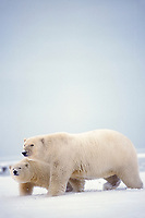 polar bear, Ursus maritimus, mother with cub walking on the pack ice of the frozen coastal plain, 1002 area of the Arctic National Wildlife Refuge, Alaska, polar bear, Ursus maritimus