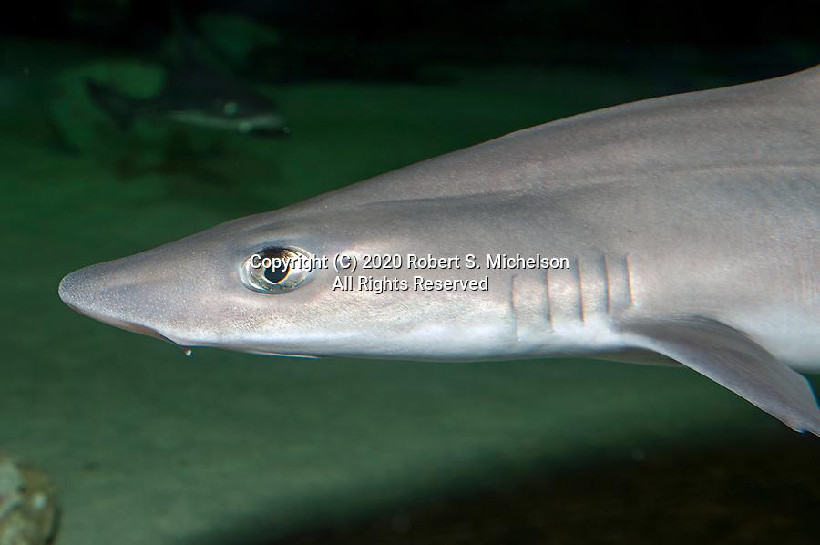 Smooth dogfish swimming left, medium shot