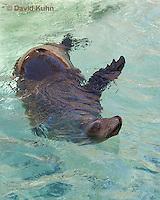 0406-1012  California Sea Lion Swimming, Zalophus californianus  © David Kuhn/Dwight Kuhn Photography.