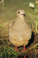 Mourning Dove, Zenaida macroura,adult, Lake Corpus Christi, Texas, USA, May 2003