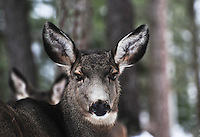 Portrait of a Montana mule deer.
