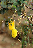San Ignacio, Peru. Cucurbitaceae Sp (?); yellow furry fruit on a creeper.