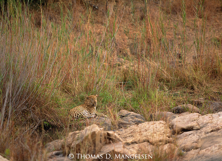 A leopard rests in the grass in Mala Mala in South Africa.