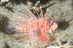 Paradise House Reef, Taveuni, Fiji; a Spotfin Lionfish (Pterois antennata) swims over the sandy bottom amongst the rocky reef