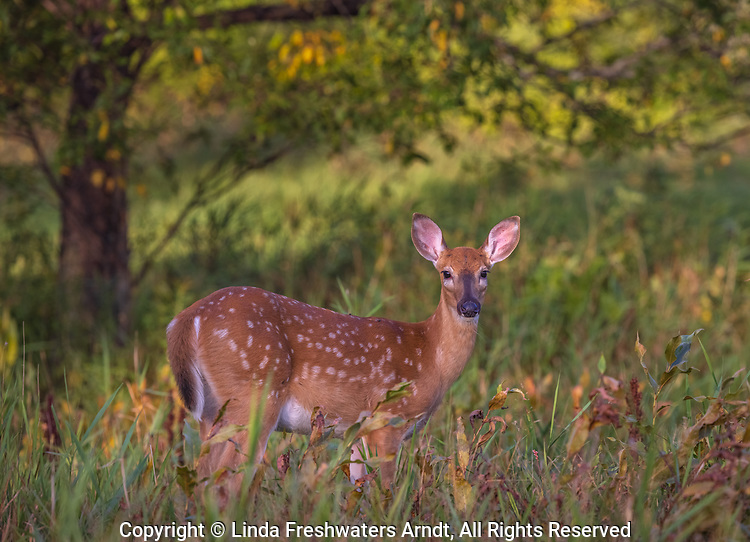 White-tailed fawn in a northern Wisconsin field.
