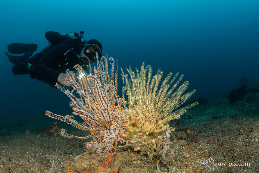 Ornate Ghost Pipefish or Harlequin Ghost Pipefish (Solenostomus paradoxus) in crinoid and diver in the Lembeh Strait