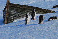Chinstrap Penguins - Half Moon bay Island