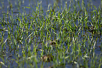 29-1-2021 Winter wheat plants under flood water<br /> ©Tim Scrivener Photographer 07850 303986<br />      ....Covering Agriculture In The UK....