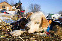Scott Smith's dog *Marley* rests in the sun at Takotna during Scott's 24 hour mandatory layover