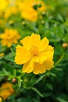 Cosmos Sulphureus 'Cosmic Yellow'