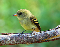 First-fall yellow-bellied flycatcher
