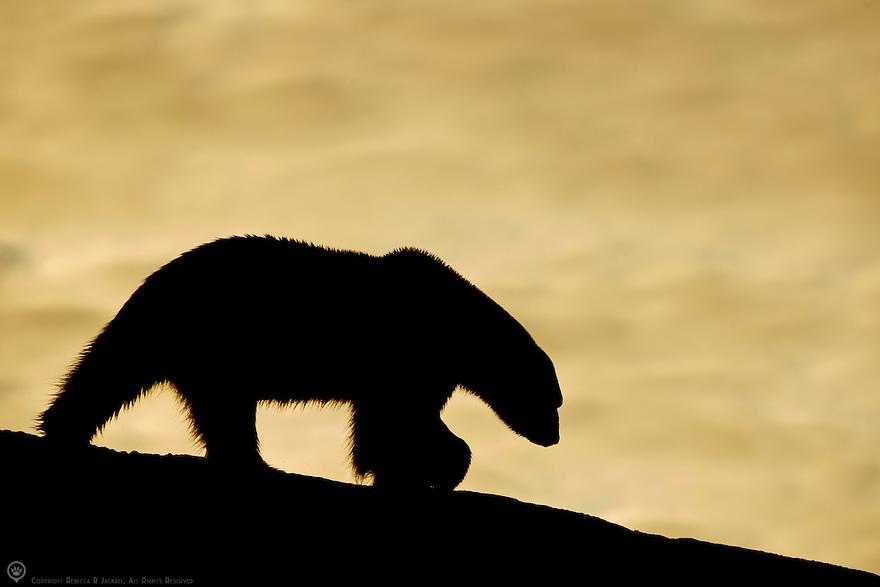 Polar bear sillouhetted against the midnight sun in Smeerenburgfjorden, Spitsbergen, Svalbard.