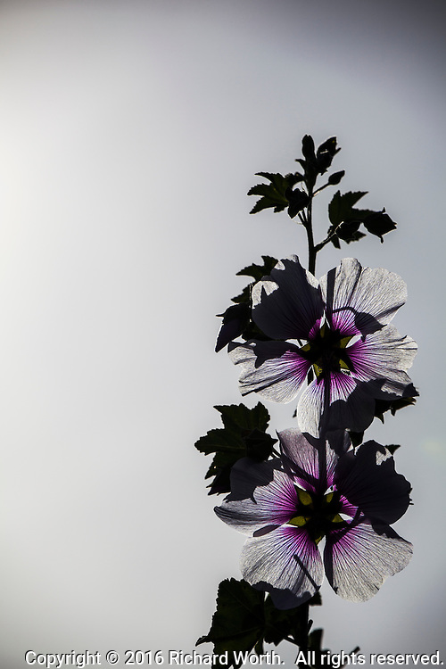 Purple and white flowers on a bush glow with back light - the same light that casts dark gray shadows on the same, backlit, petals.  Image includes copy space.